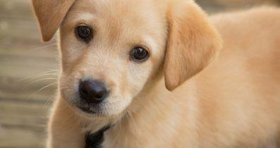 Satılık Terrier