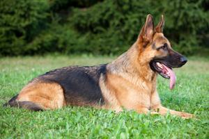SRCLi Av Köpeği