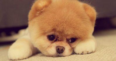 Satılık köpek cinsleri