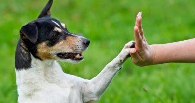 Satılık Chihuahua