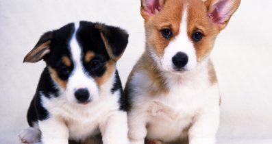 Secereli Yavru Köpekler