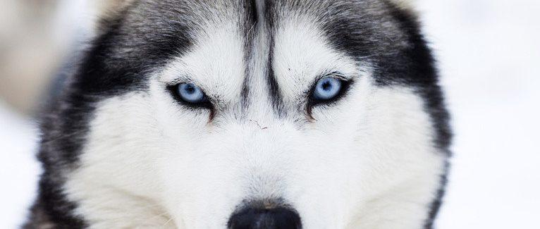 Yavru Köpekler İlanı