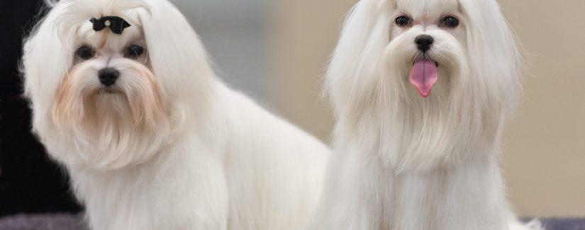 Ucuz Satılık Köpekler