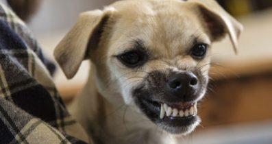 Korkulan Köpek Bulldog