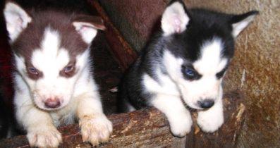 Satılık yavru köpek Sibirya