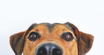 Amerikan Staffordshire Terrier yavrusu