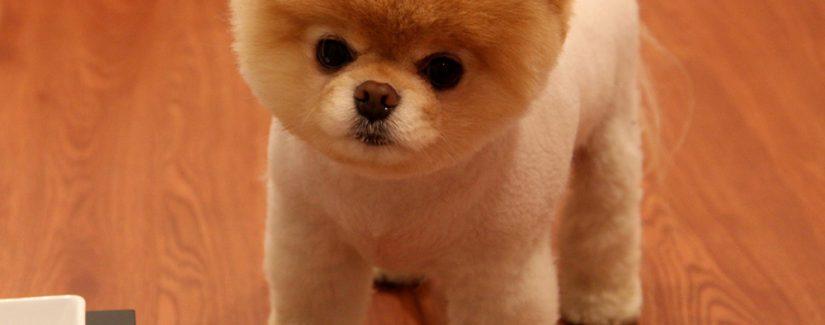 Pomeranian Boo Satılık Yavru