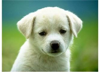 Evcil Köpek Satışı