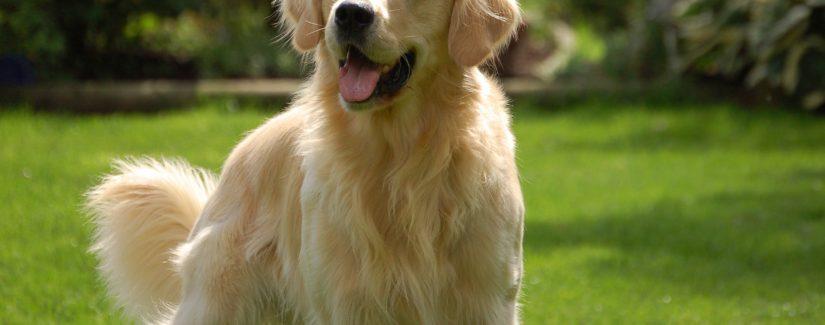 Satılık Golden Köpek