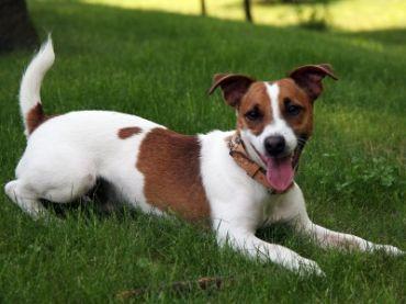 Satılık Jack Russel Terrier