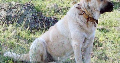 Satılık Kangal Köpekleri