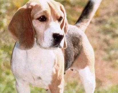 Satılık Beagle