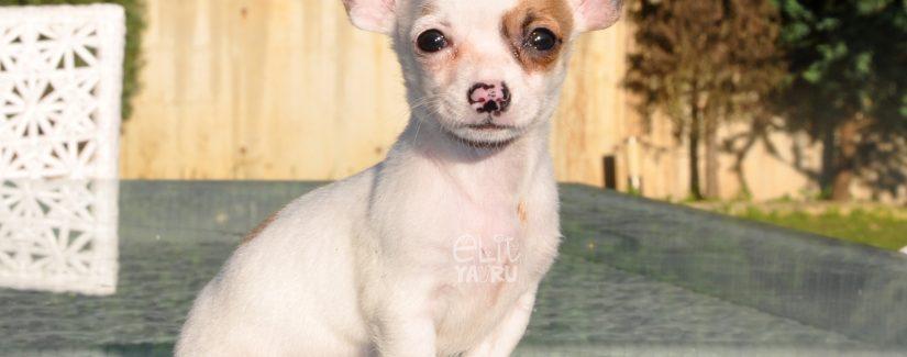 Chihuahua Satılık Yavru