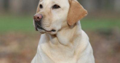 Satılık Labrador