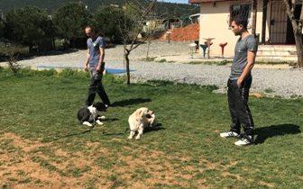 French Bulldog'ların Kökeni