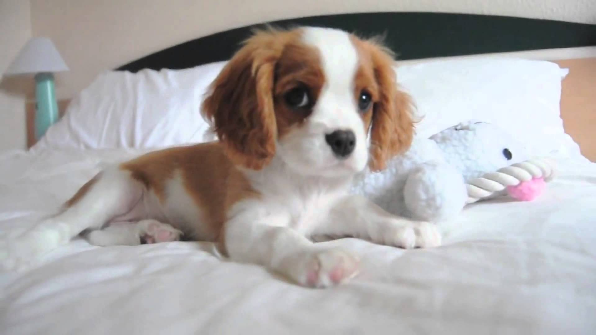 Small Dog Breeds That Dont Shed King Charles Spaniels